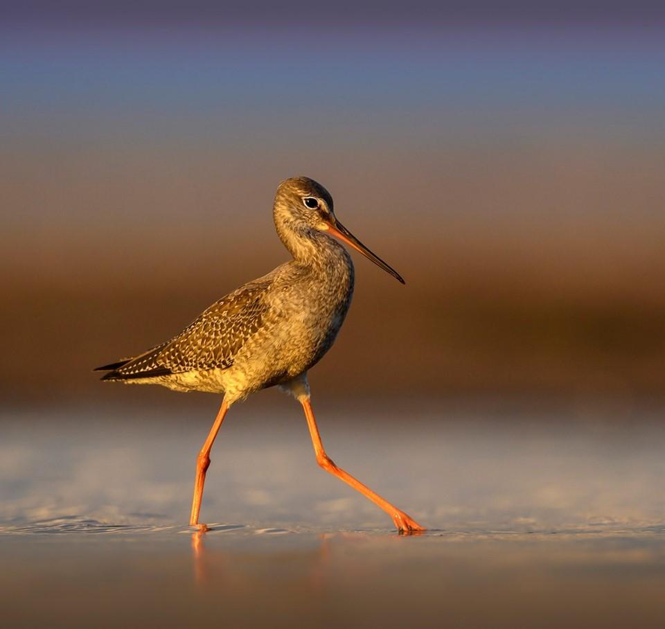 Zdjęcia: Plaża, Mikoszewo, Brodziec śniady/Spotted Redshank /Tringa erythropus/, POLSKA