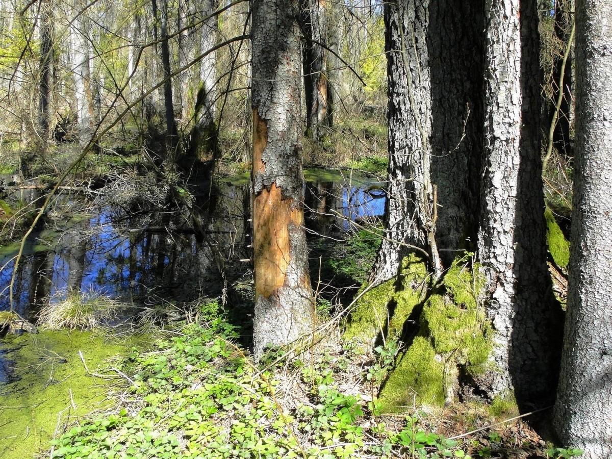 Zdjęcia: Puszcza Knyszyńska, Podlasie, Wiosna w Puszczy Knyszyńskiej, POLSKA