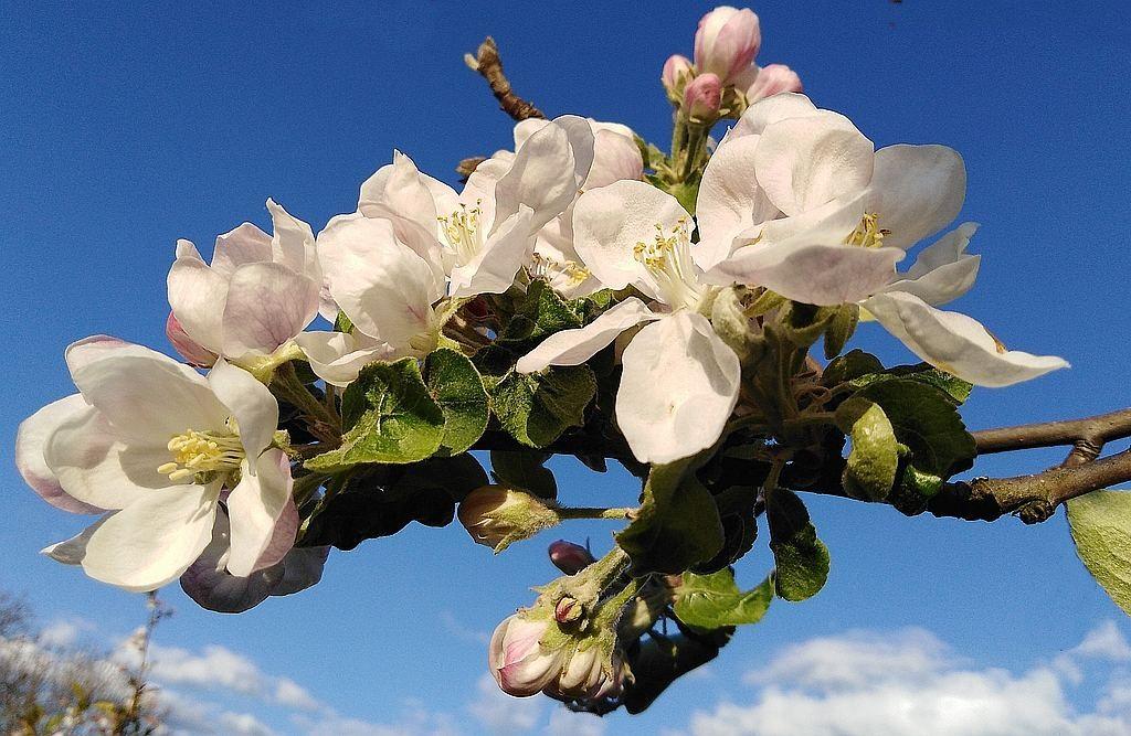 Zdjęcia: niedaleko, opolskie, Kwiat jabłoni, POLSKA