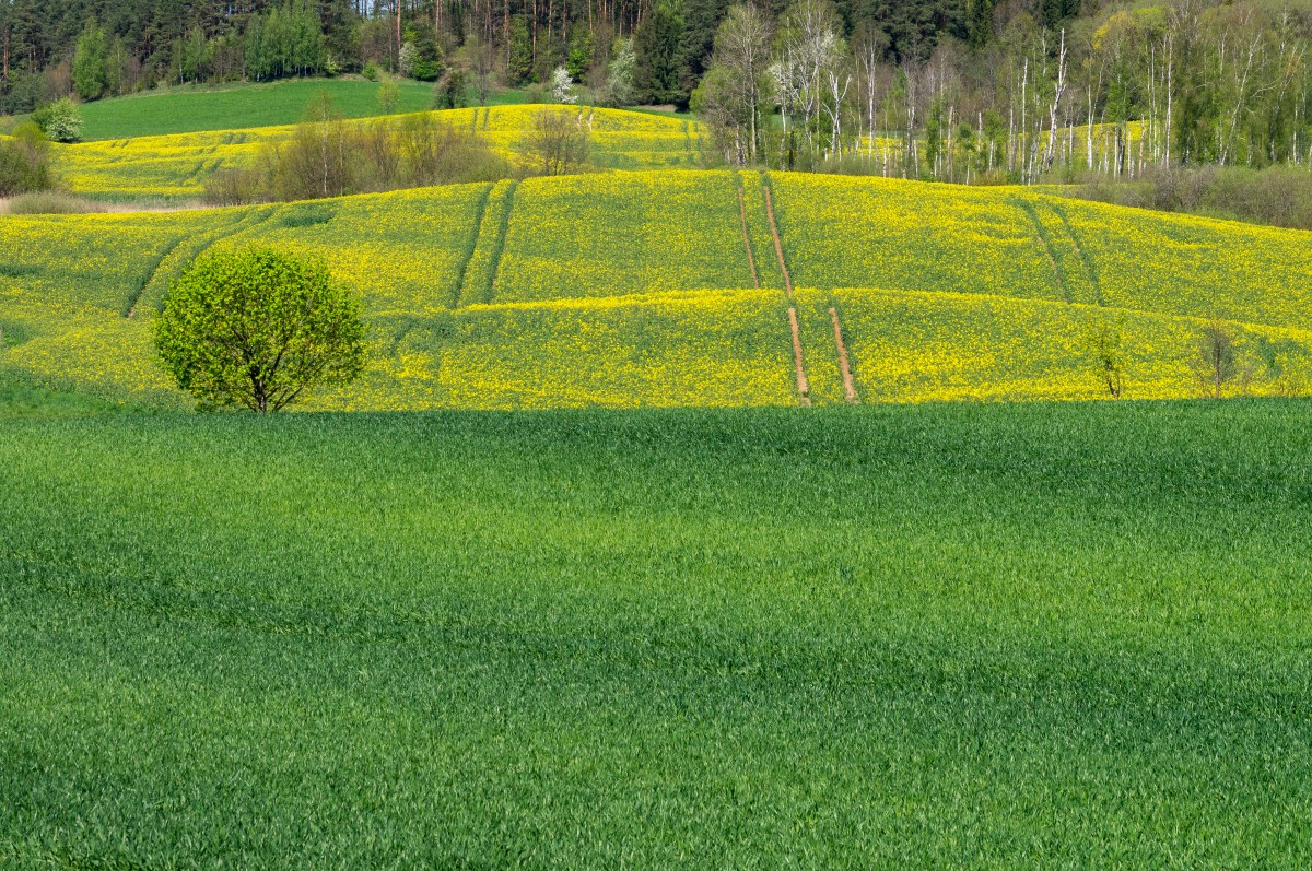 Zdjęcia: okolice Giżycka, Mazury, Gra w żółte i zielone, POLSKA