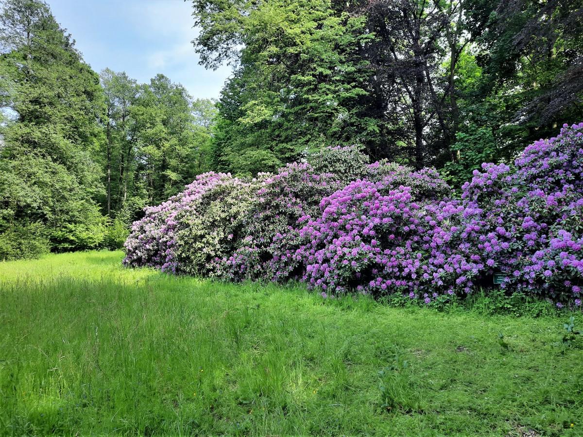 Zdjęcia: Cysterski Park Krajobrazowy, śląskie, Różanecznik w Rudach, POLSKA