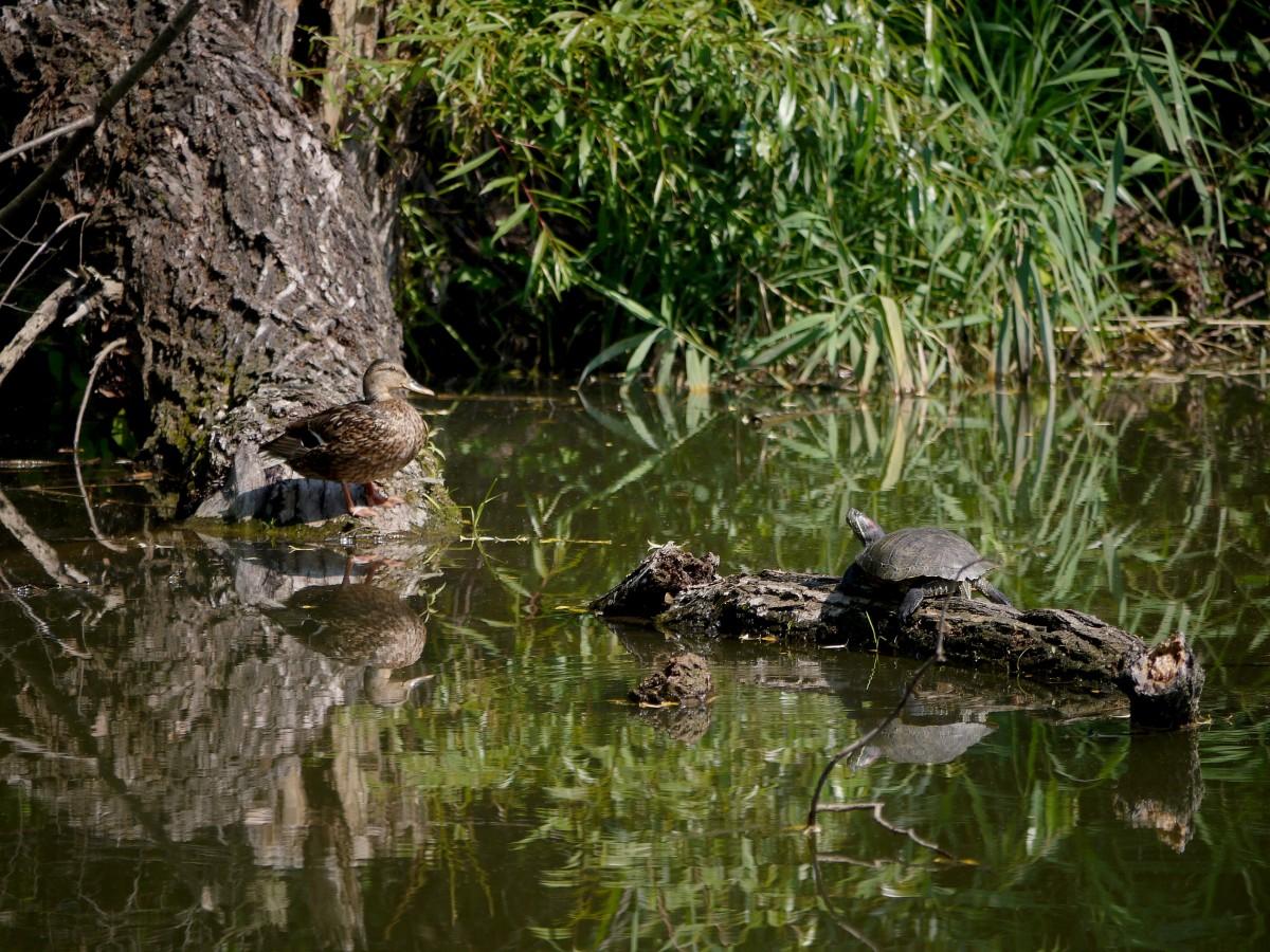 Zdjęcia: Staw bobrowy, opolskie, Żółw czerwonolicy i kaczka, POLSKA
