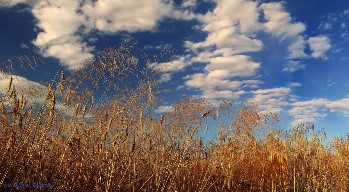 Zdjęcia: Dolina Noteci, Dolina Noteci, Kłosy zbóż, POLSKA