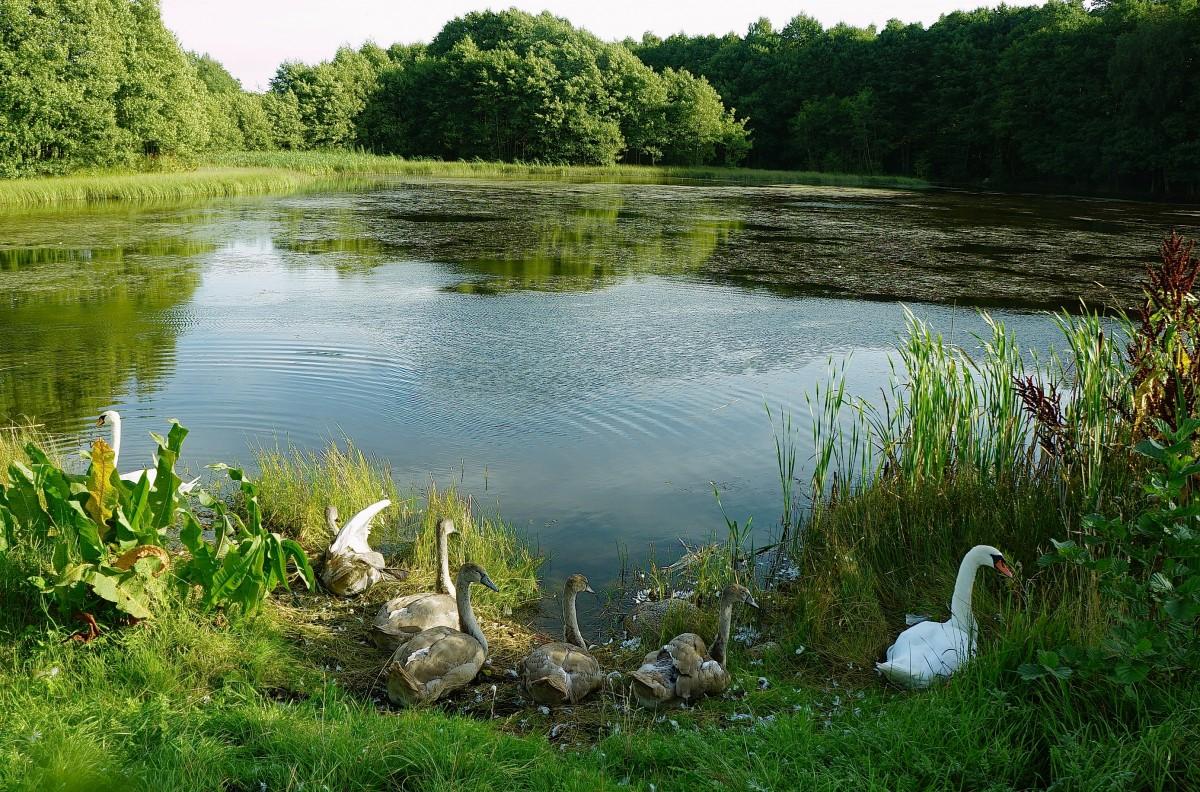 Zdjęcia: Dobrogoszcz, Kaszuby, Jezioro łabędzie, POLSKA