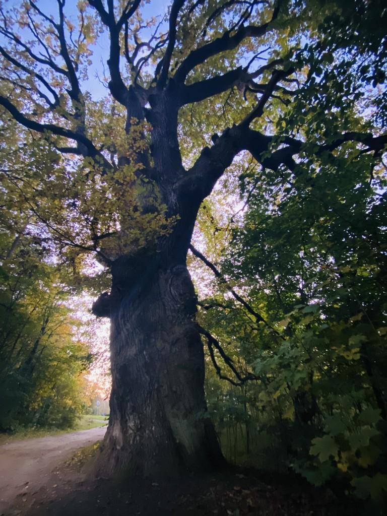 Zdjęcia: Sasino , Pomorskie , Majestatyczne drzewo , POLSKA