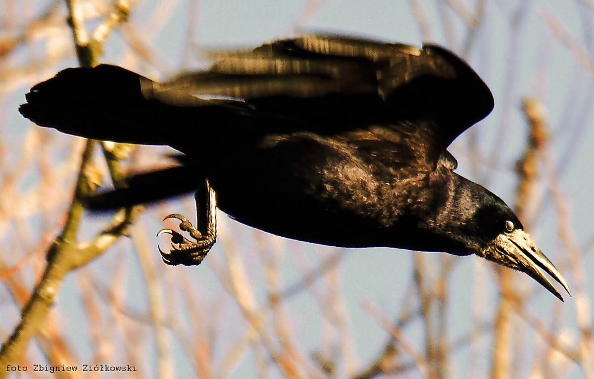Zdjęcia: Dolina Brdy, Bory Tucholskie, (Corvus frugilegus), POLSKA