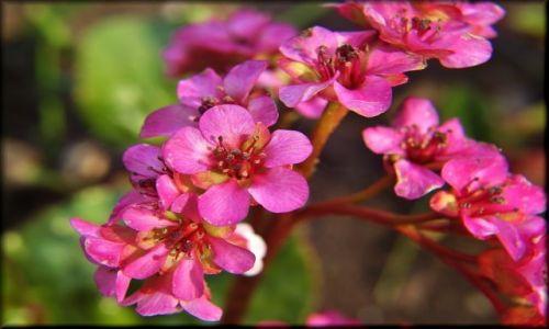 Zdjęcie POLSKA / lubelszczyzna / Ogród Botaniczny / Różowości w Botaniku