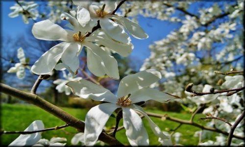 Zdjęcie POLSKA / lubelszczyzna / Ogród Botaniczny / Magnoliowo w Botaniku