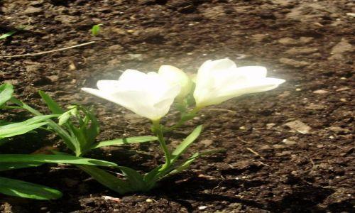 Zdjecie POLSKA / Warmia / Okolice Olsztyna / Kwiat Miłości
