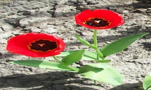 Zdjecie POLSKA / Mazowsze / - / tulipany