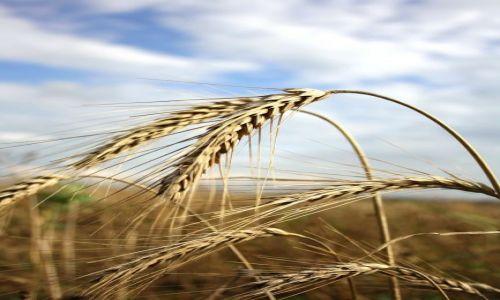 Zdjecie POLSKA / - / Wśród traw... / Kłosy...