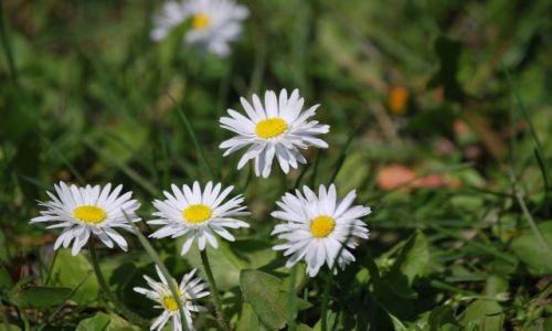 Zdjecie POLSKA / Wielkopolska / Las Dębina / Wiosenne Kwiaty