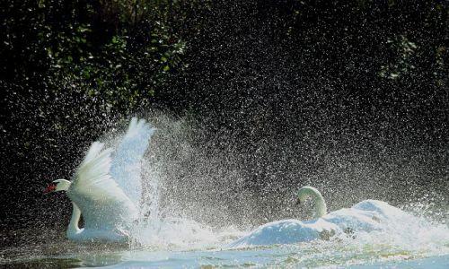 Zdjecie POLSKA / - / okolica Nysy / kąpiel łabędzi