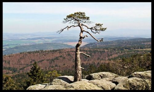 Zdjecie POLSKA / Góry stołowe / szczeliniec / drzewko