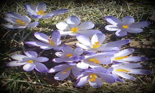 Zdjęcie POLSKA / Cyrla / łąka / Wiosna