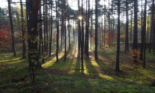 Zdjecie POLSKA / Kampinowski Park Narodwy / Kampinos / Poranek w lesie