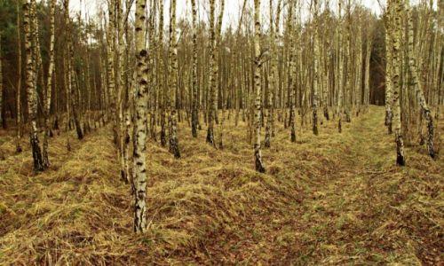 Zdjęcie POLSKA / Bory Tucholskie. / Czersk Świecki / Las brzozowy wiosną