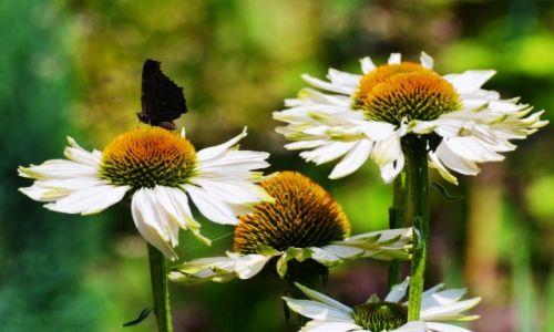 Zdjecie POLSKA / Mazowieckie / ... / Czarnym motylem jestem....