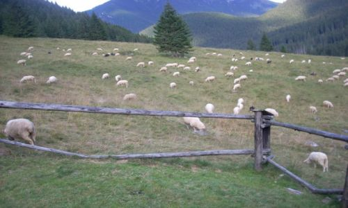 Zdjecie POLSKA / Tatry / Dolina Chochołowska / Kulturalny wypas owiec