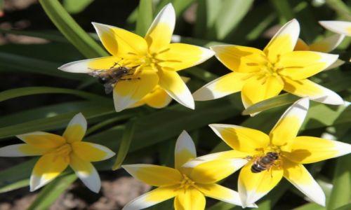 Zdjecie POLSKA / Pomorze / Gdańsk / Tulipany botaniczne - nie tylko moje ulubione
