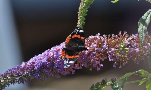 Zdjecie POLSKA / Kaszuby / Jastarnia / Jastarnia, roślina wabiąca motyle