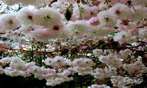 Zdjecie POLSKA / Wielkopolska / ..... / cherry blossom time...