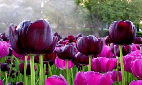 Zdjecie POLSKA / Wielkopolska / ..... / tulipany...