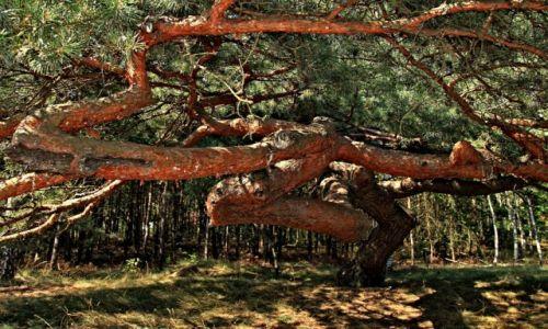 Zdjecie POLSKA / Kujawsko-Pomorski / Nowe Dąbie /  Różnorodne kształty drzew iglastych
