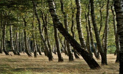 Zdjęcie POLSKA / Kuj-pom. / Brzoza / Brzozowy las