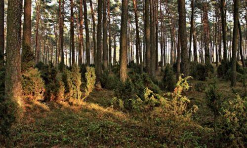 Zdjecie POLSKA / Bory Tucholskie / Czersk Świecki / Wdychanie zapachów lasu
