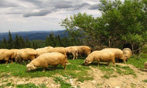 Zdjęcie POLSKA / Beskid Żywiecki / Hala Miziowa / Owce