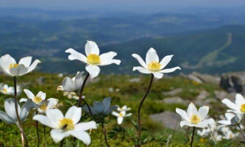 Zdjecie POLSKA / Beskid Żywiecki / Babia Góra / Babia w kwiatach