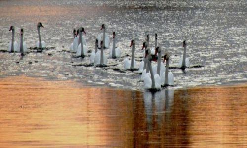 Zdjęcie POLSKA / Pomorskie / Mikołajki jezioro Tałty / Gromada łabędzi przed zachodem