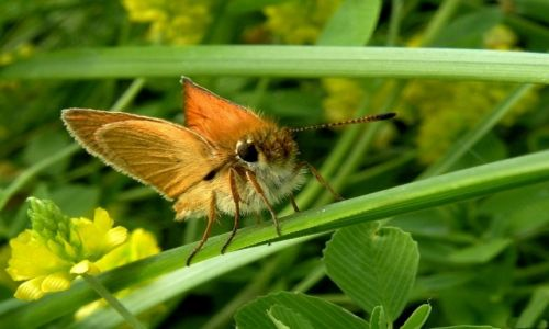 Zdjecie POLSKA / opolski  / nad Odrą / Karlątek, bardzo wojowniczy przegania większe motyle ze swego terytorium.