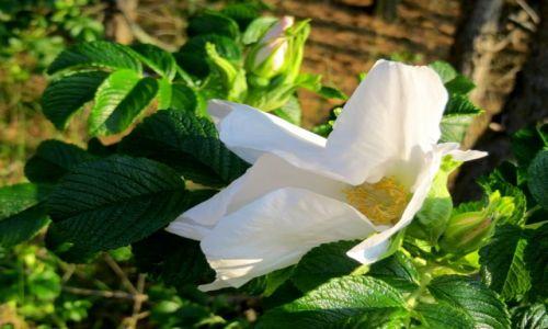Zdjęcie POLSKA / Kaszuby / Białogóra / za dzikiej róży zapachem  idź...