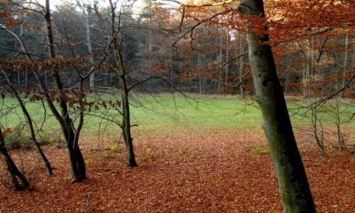 POLSKA / opolskie / Falmirowice / Polana w lesie bukowym