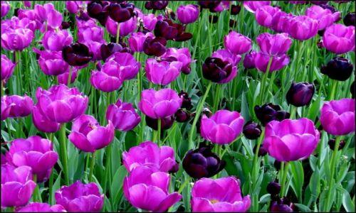 POLSKA / Wielkopolska / - - - / kwiaty wiosny, rado�ci i m�odo�ci...