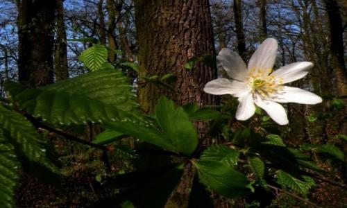 Zdjecie POLSKA / opolskie / Malina / Runo leśne późną wiosną