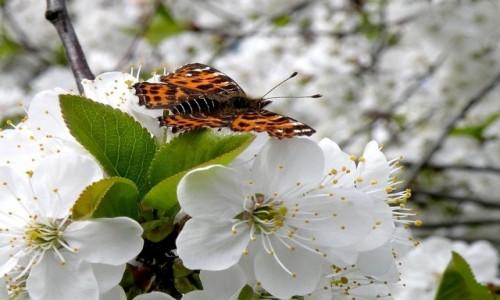 Zdjecie POLSKA / opolskie / Nad Odrą / Rusałka kratnik, na kwiatach drzewa owocowego.