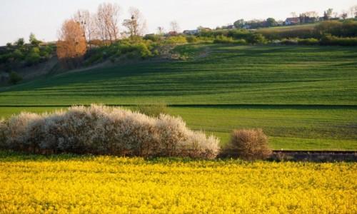 POLSKA / Zachodniopomorskie / Miel�cinek / pola w kwiatach...