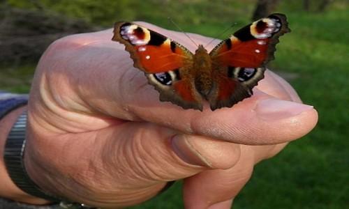 Zdjęcie POLSKA / opolskie / Malina / Rusałka pawik na mojej dłoni.