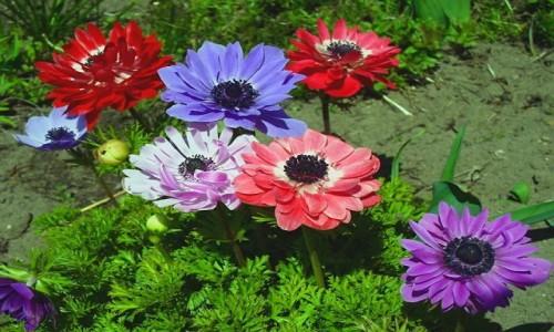Zdjecie POLSKA / Łódzkie / Domiechowice / Wiosenne kwiaty, pokemony