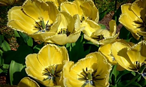 Zdjęcie POLSKA / mazowsze / Powsin-ogród botaniczny / tulipany