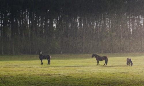 Zdjęcie POLSKA / Wielkopolska / Lasy Czerniejewskie / Horses
