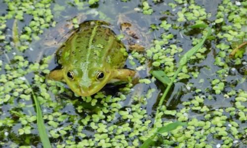 Zdjecie POLSKA / Podlasie / Rospuda / Korniszon czyli żaba jeziorkowa (Pelophylax lessonae)