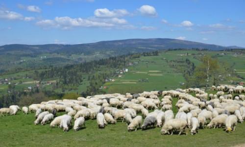 Zdjecie POLSKA / Beskid Śląski / Ochodzita / kto ma owce...