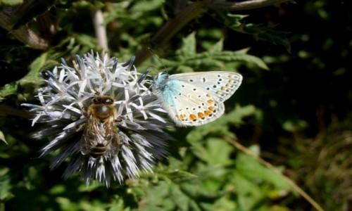 Zdjęcie POLSKA / kujawsko pomorskie / Nad Wisłą / Na jednym mikołajku stali i nektar spijali.