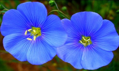 Zdjęcie POLSKA / kujawsko pomorskie / Raciążek / Piękne kwiaty lnu.