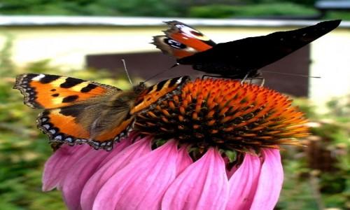 Zdjęcie POLSKA / opolskie / Turawa / Pokrzywnik i pawik na jeżówce purpurowej.