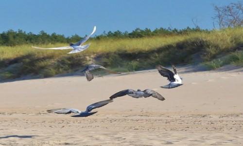 Zdjęcie POLSKA / Pomorskie / Rowy / Rowy, ptaki, gołębie nad morzem